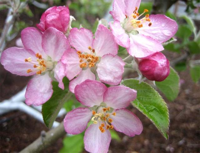 Apple-blossoms