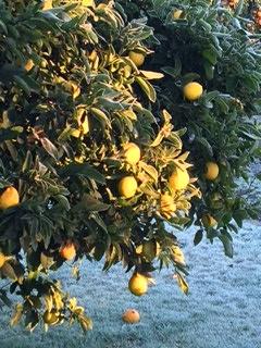 Frosted lemons